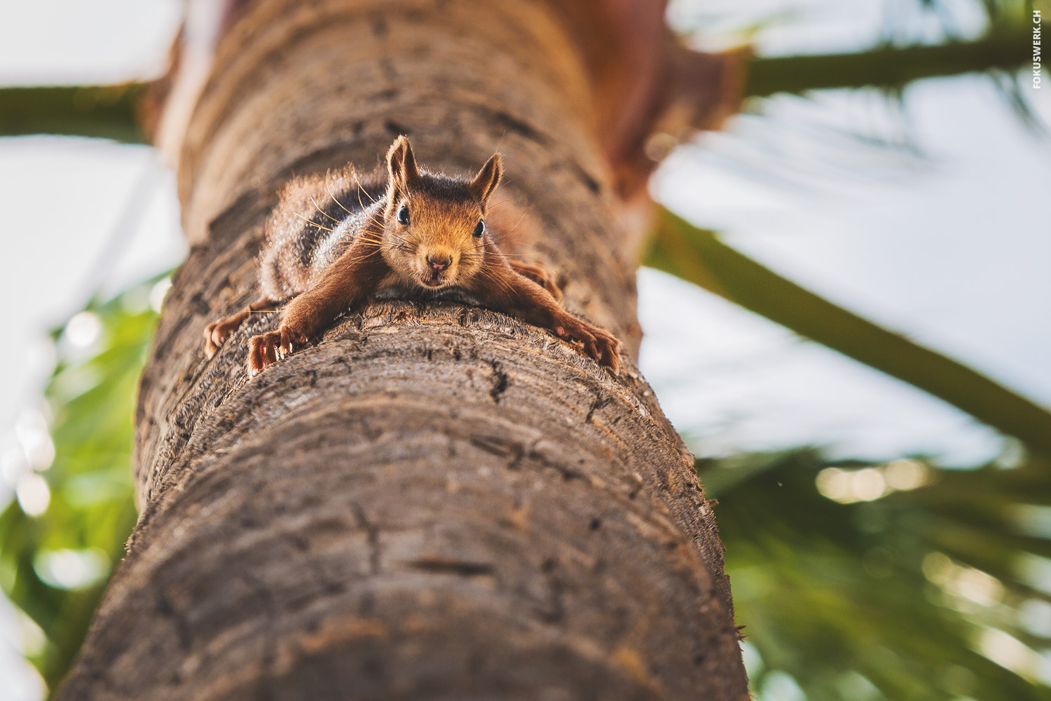 Squirrel hanging upside down on palm tree