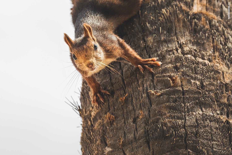 Eichhörnchen auf Palme