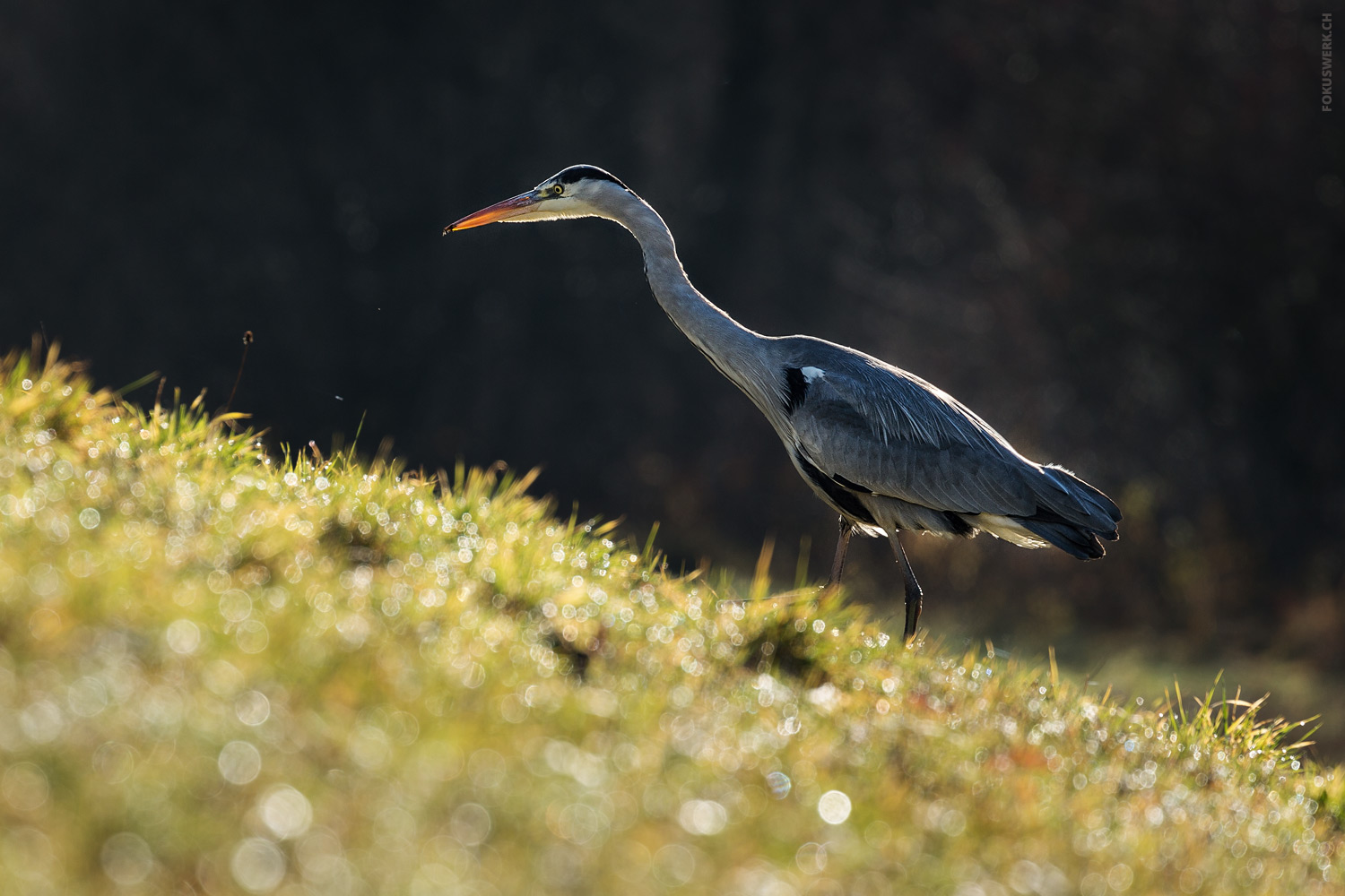 Grey heron searching for food