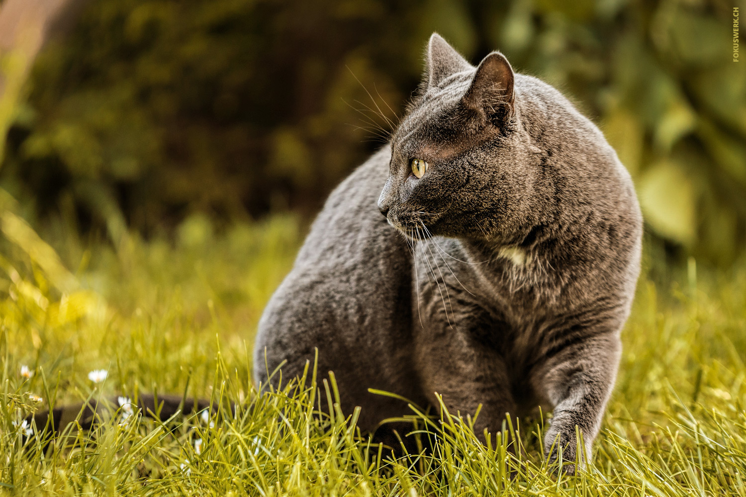 Grey cat in grass