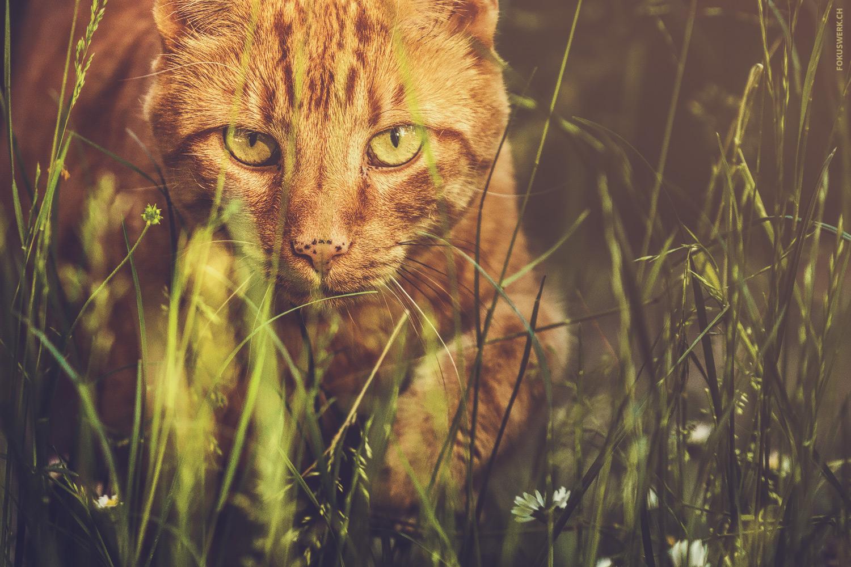 Red cat in focus