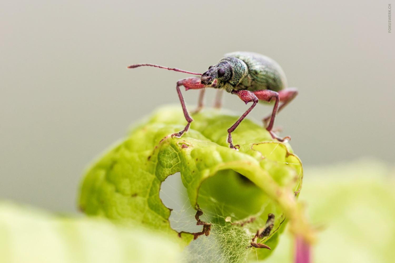 Rüsselkäfer auf Pflanze
