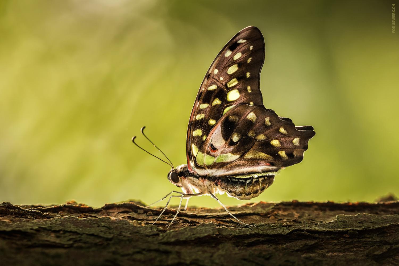 Butterfly contre-jour (Graphium agamemnon)